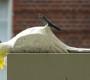Podvodník vylákal z pojišťovny 60 tisíc korun za uhynulé kakaduy. Fingoval, že je zardousil pes