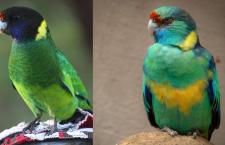 Barnard límcový a barnard zelený už nejsou dva samostatné druhy papoušků