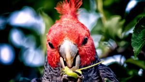 Kakadu přilbový, foto © Wikimedia Commons - Rod Waddington (Kergunyah, Australia)