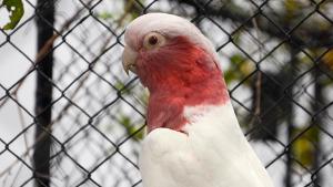 Kakadu růžový lutino