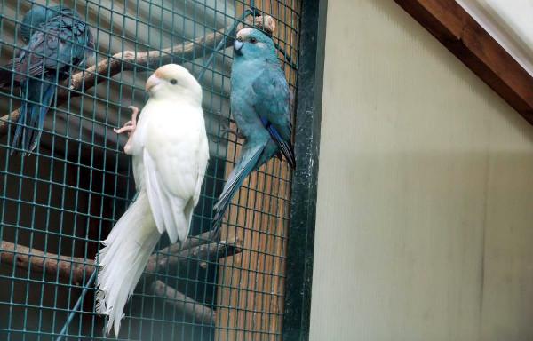 Snímek mláděte kakariki rudočelého bílé mutace z podzimu 2012, který se objevil na komunitní stránce na Facebooku. Údajně by měl pocházet ze Švédska. (Foto: Facebook.com/Bluekakariki)