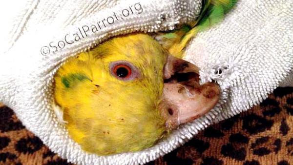 Neznámý útočník střílí invazní papoušky v jižní Kalifornii. Zřejmě kvůli hluku