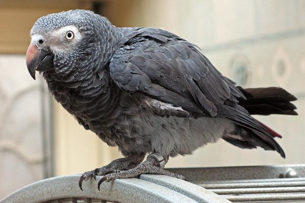 Ani domácí mazlíčci chovaní v uzavřených domácnostech nejsou vůči ptačí chřipce zcela imunní. Nákazu jim může nevědomky přinést jejich majitel. (Foto: Wikimedia Commons)