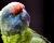 Pražská zoo letos poprvé odchovala amazoňany modrobradé. Od rodičů zabavených na Ruzyni