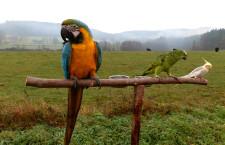 Naše sezóna volného létání 2014: střet araraun s kánětem a psem, výcvik korel a amazoňana