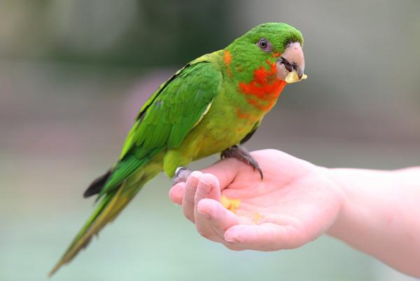 Dalším novým druhem je aratinga červenohrdlý, který byl dříve považován na pouhý poddruh aratingy zeleného (Foto: Free-pet-wallpapers.com)