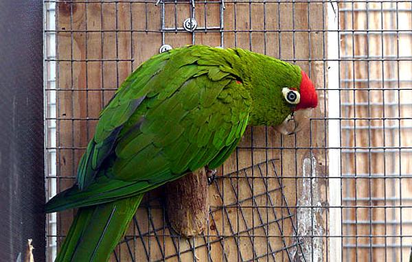 Od aratingy skvrnitého se osamosatnil nový druh aratinga ekvádorský (Foto: Zooinstitutes.com)