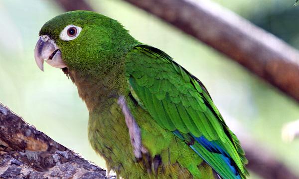 Aratinga jamajský (Eupsittula nana) byl dlouho považován za poddruh aratingy aztéckého (Foto: Wkimedia Commons)