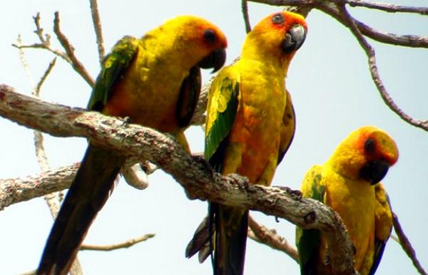 Aratinga sírožlutý je novým druhem papouška, který se vyčlenil od známého aratingy slunečního (Foto: www.birdforum.net)
