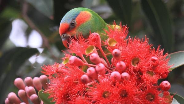 Studie: loriům se v australských městech daří lépe než v divoké přírodě
