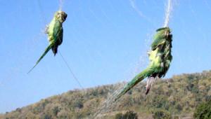 Papoušci v síti