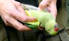 Londýňan vyvěsil na YouTube návod, jak přilákat papoušky na zahradu a postřílet je