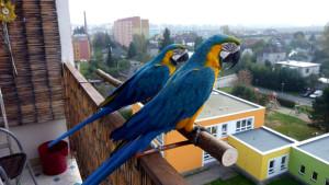 Ararauny na balkoně v Šumperku