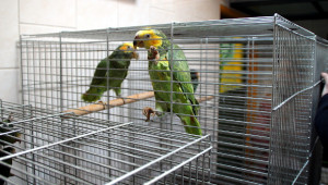 Amazoňan žlutobřichý