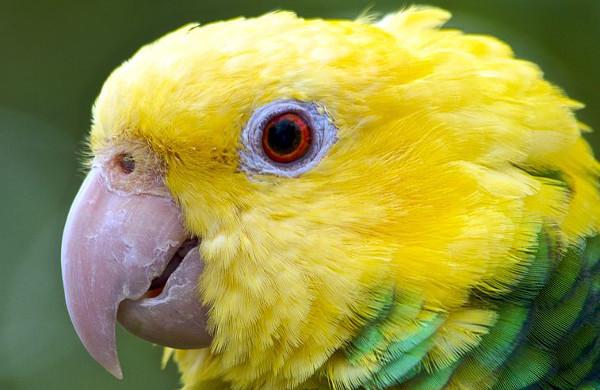 Za druhé pololetí 2014 přibylo v centrálním registru CITES pro Českou republiku 95 nově evidovaných amazoňanů velkých. To je nejvíc ze všech papoušků CITES I. (Foto: Wikimedia Commons © Duncan Rawlinso)