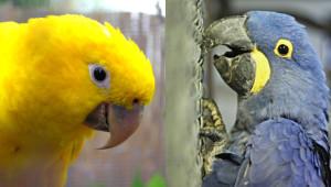 Aratinga žlutý a ara hyacintový