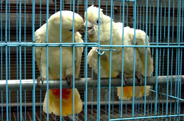 Kakadu filipínský je nejohroženějším druhem kakadua vůbec (Foto: Wikimedia Commons © TJ Lin)