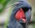 Kakaduům palmovým v Austrálii hrozí vyhubení, ochránci žádají jejich překlasifikování v Červené knize