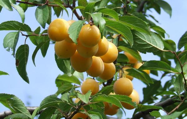 Mirabelka je malou žlutou blumou, příbuznou pravým špendlíkům. Pro papoušky je to hotová pochoutka. (Foto: Wikimedia Commons, Prunus domestica, ssp. syriaca, photo made in Warsaw, author Hiuppo)