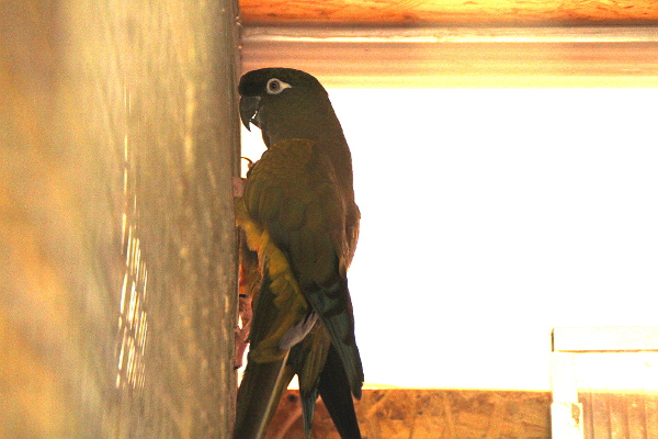 Nejdéle chová Ondřej Šafek tyto papoušky patagonské. Loni je vystavoval na výroční výstavě Klubu přátel exotického ptactva v pražské Botanické zahradě na Albertově. (Foto: Jan Potůček, Ararauna.cz)