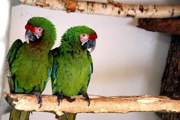 Arové vojenští jsou největšími papoušky v chovu Ondřeje Štafka (Foto: Jan Potůček, Ararauna.cz)