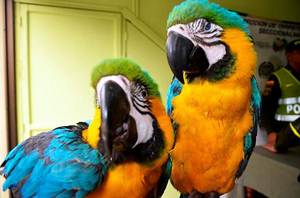 Mezi zabavenými ptáky byli i dva dospělí arové ararauny (Foto: Kolumbijská národní Policie)