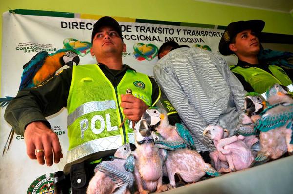 Kromě araraun policisté zabavili i dva tukany a jednoho kardinála ohnivého (Foto: Kolumbijská národní Policie)