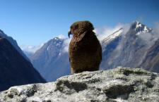 Nestory kea na Novém Zélandu ohlídá GPS, vědci chtějí zmírnit jejich destruktivní hrátky