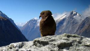Nestor kea v horách