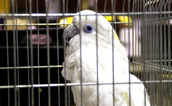 Mezi vzácné druhy nabízené ve Zwolle patřil i kakadu brýlový (Foto: Jan Potůček, Ararauna.cz)