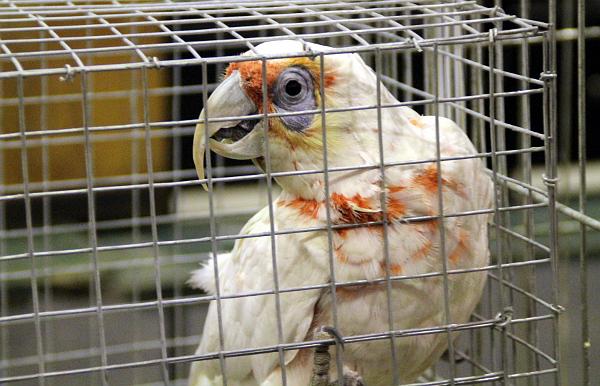 Jeden z nejvzácnějších kakaduů ve Zwolle: nepříliš hezký kakadu tenkozobý (Foto: Jan Potůček, Ararauna.cz)