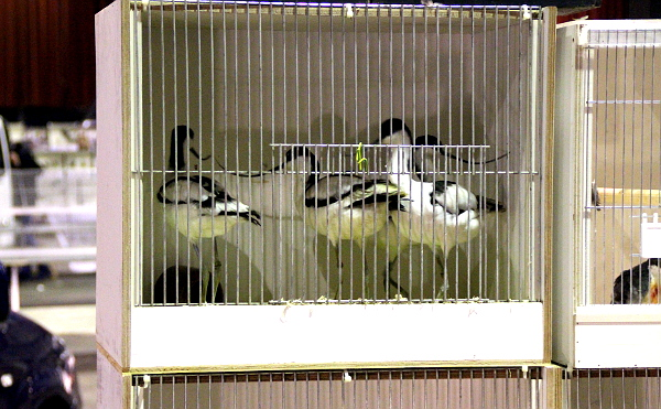 Tenkozobci opační se hned stali terčen zájmu přítomných policistů. Jako u všech zástupců eurofauny důsledně kontrolovali doklady původu ptáků. (Foto: Jan Potůček, Ararauna.cz)