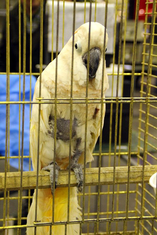 Ve Zwolle byli k vidění i oškubaní ptáci, zde kakadu molucký (Foto: Jan Potůček, Ararauna.cz)