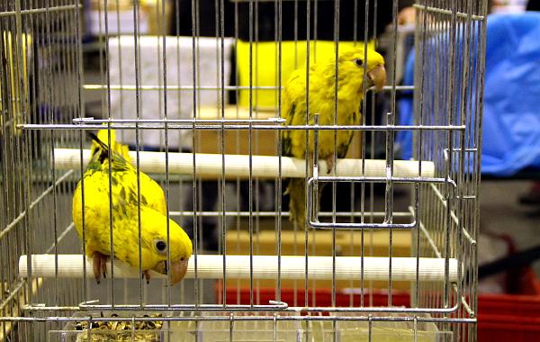 Nabídka aratingů byla ve Zwolle slabá, ale nechyběli aratingové žlutí (Foto: Jan Potůček, Ararauna.cz)