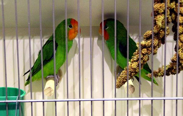 Asi největší papouščí rarita ve Zwolle: agapornisové oranžovohlaví (Foto: Jan Potůček, Ararauna.cz)