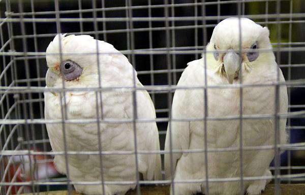 """Další """"nevzhledný"""" druh kakadua: kakadu naholící (Foto: Jan Potůček, Ararauna.cz)"""