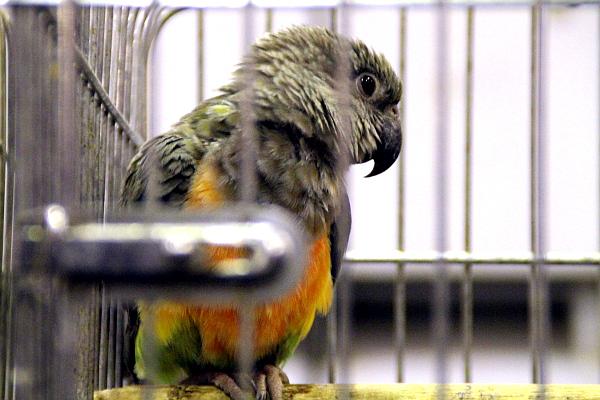 Africké druhy reprezentoval například papoušek červenobřichý (Foto: Jan Potůček, Ararauna.cz)