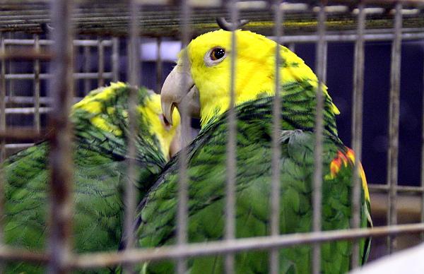 Další kvalitní ptáci v kondici: amazoňané velcí (Foto: Jan Potůček, Ararauna.cz)