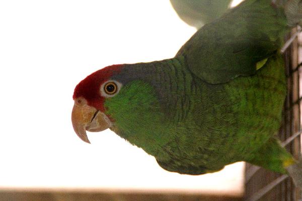 Nejčerstvějšími přírůstky v kolekci amazoňanů u Ondřeje Štafka jsou amazoňani zelenolící (Foto: Jan Potůček, Ararauna.cz)