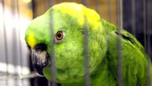Amazoňan žlutokrký