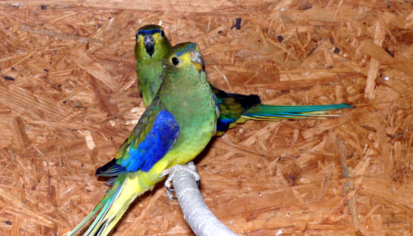 Jeden z chovných párů neofémy modrokřídlé (Foto: Jan Cvrček)