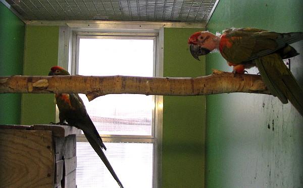 Samice ary červenouchého (v pozadí) oškubala samci (v popředí) hlavu. U tohoto druhu je škubání peří častým nešvarem. (Foto: Jan Potůček, Ararauna.cz)