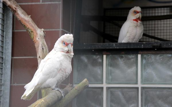 Na tyto papoušky také u mnoha českých chovatelů nenarazíte. Kakadu tenkozobý patří mez rarity v celé Evropě. (Foto: Jan Potůček, Ararauna.cz)