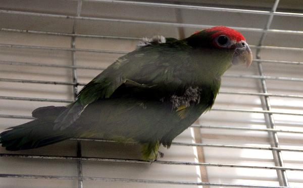 Jediný z amazónků, který se vyskytuje v CITES I: amazónek červenohlavý (Foto: Jan Potůček, Ararauna.cz)