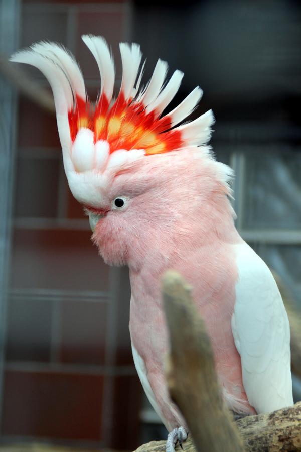 Mezi nejpestřeji zbarvené papoušky v chovu manželů Nečasových patří kakadu inka (Foto: Jan Potůček, Ararauna.cz)