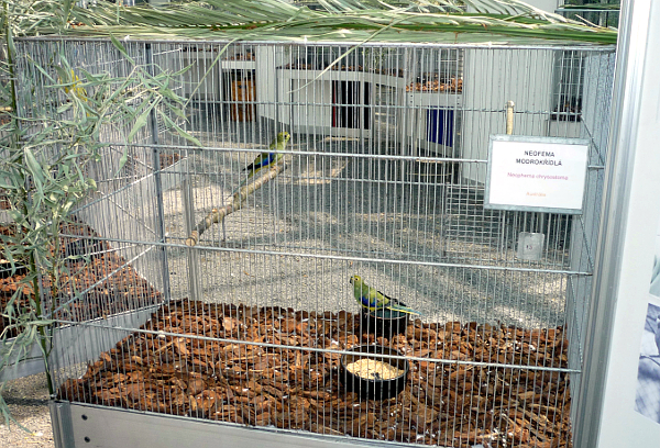 Jan Cvrček svoje neofémy modrokřídlé pravidelně vystavuje, zde je pár na jedné z Propagačních výstav KPEP v Botanické zahradě v Praze na Albertově (Foto: Jan Cvrček)