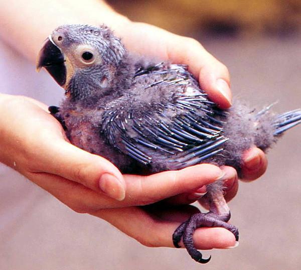 Mládě ary škraboškového odchované v Loro Parque Tenerife v době, kdy tam byl kurátorem ptáků Tony Silva (Foto: archiv Tonyho Silvy)