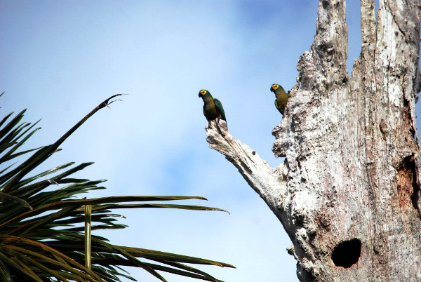 Tony Silva má bohaté zkušenosti s pozorováním papoušků ve volné přírodě. Zde na výpravě za ary rudobřichými (Foto: Tony Silva)