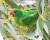 Tasmánská vláda pozastavila kácení stromů v hnízdištích latamů vlaštovčích