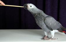 Jak vycvičit papouška, aby poslouchal a bavilo ho to? Pomůže metoda pozitivního upevňování